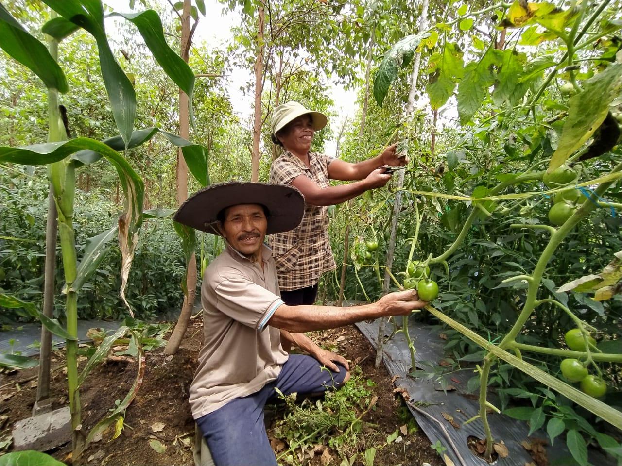 Kesuksesan Bismar Simamora Warga Humbahas Petani Binaan PT. Toba Pulp Lestari