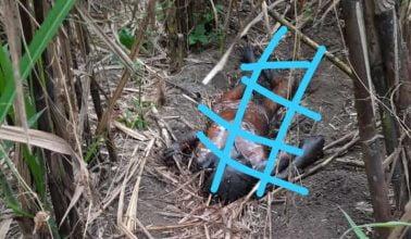 Heboh Ditemukan Mayat Seorang Wanita Berambut Panjang Membusuk di Kebun Tebu