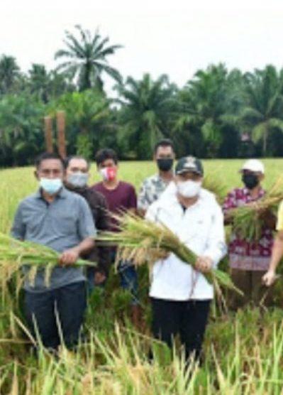 Bupati Batu Bara Laksanakan Pengubinan Deplot Padi Organik Desa Brohol