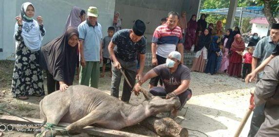 Mesjid Darul Mutaqqin Kubang Jaya Siak Hulu Kampar Sembelih 6 Ekor Kerbau dan 4 Ekor Kambing